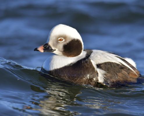 Long-tailed duck, Clangula hyemalis, Lodówka, white duck, tail, long tail, duck, white bird, water bird, blue water, wildlife