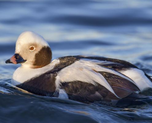 Long-tailed duck, Clangula hyemalis, Lodówka, white duck, white bird, water bird, bird, water, duck, tail, long tail, wild kaczka, biała kaczka,