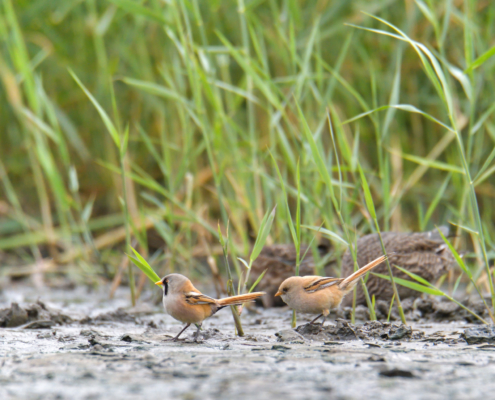 bird, Bearded reedling, Panurus biarmicus, Wąsatka, ptak, nature, grass, natura, ptaki, wąsatki, Artur Rydzewski, nature photography