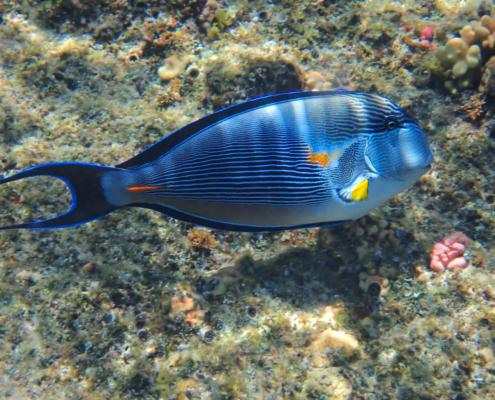 Acanthurus sohal, Sohal tang, Pokolec, coral reef red sea egypt africa, rafa koralowa egipt morze czerwone afryka