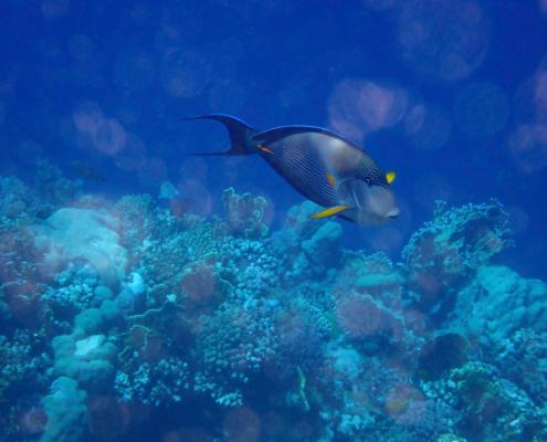 Acanthurus sohal, Sohal tang, Pokolec, coral reef red sea egypt africa, rafa koralowa egipt morze czerwone
