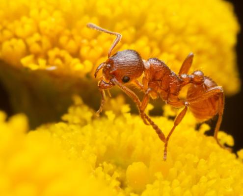 ant, ant on flower, orange ant, ant on yellow flower, macro, macro photography, extreme macro, flower, closeup, close up, mrówka, pomarańczowa mrówka, mrówka na kwiatku, kwiat, żółty kwiat, mrówka na żółtym kwiatku, makro, przyroda