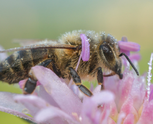 Apis mellifera, European honey bee, western honey bee, bee on flower, purple flower, close up, extreme macro, Pszczoła miodna, pszczoła na kwiatku, fioletowy kwiat, makro fotografia