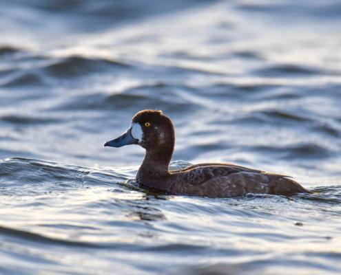 Aythya marila, greater scaup, duck, brown duck, sea, water, Ogorzałka, kaczka, brązowa kaczka, woda, morze