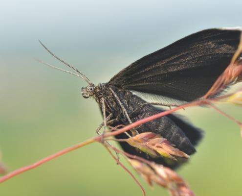 Chimney sweeper, Biesek murzynek, Odezia atrata, insect, moth, butterfly, black moth, black butterfly, motyl, ćma, czarna ćma, czarny motyl