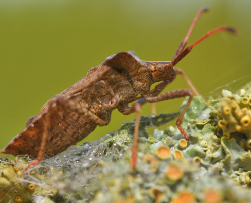 Coreus marginatus, Dock bug, insect, bug, brown bug, brown insect, Wtyk straszyk, straszyk szczawiowiec, brązowy owad, owad, robak, brązowy robak