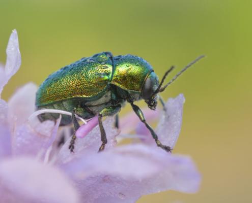 Green rose chafer Cetonia aurata, green insect, insect, bug, Kruszczyca złotawka, chrząszcz, robak, owad, zielony owad, zielony chrząszcz