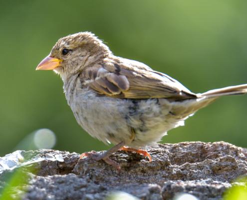 House sparrow, Passer domesticus, Wróbel zwyczajny, small bird, bird, grey bird, bird in garden, wróbel, ptak, mały ptak, szary ptak