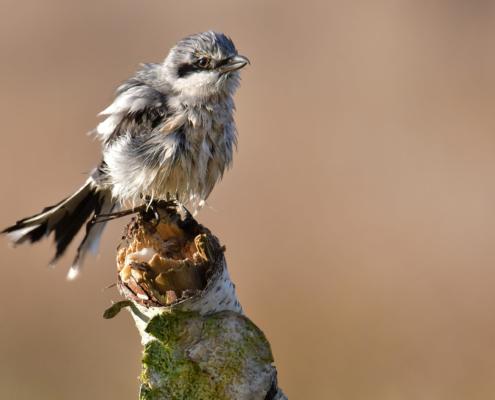 Lanius excubitor, Great grey shrike, Srokosz, Dzierzba srokosz, bird, grey bird, stick, branche, ptak, szary ptak, Puszcza Wkrzańska