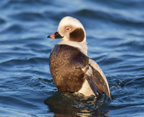 Long-tailed duck, Clangula hyemalis, Lodówka, white brown bird, water, sea, bird, ptak, biało brązowy ptak, morze