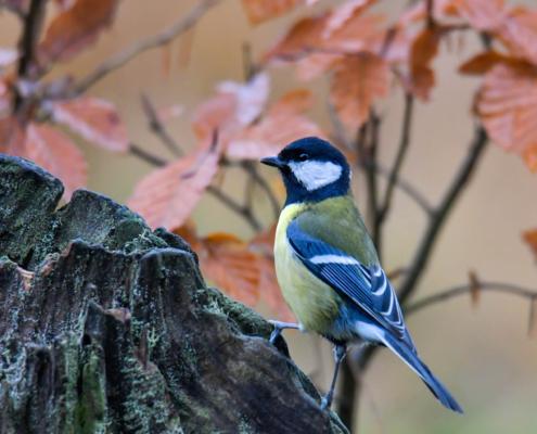 Parus major, Great tit, Sikora Bogatka, bird, yellow bird, wild, wildlife, tree, forest, orange, yellow, Leaves, żółty ptak