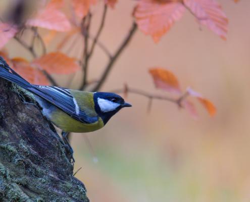 Parus major, Great tit, Sikora Bogatka, bird, yellow bird, wild, wildlife, tree, forest, orange, yellow, Leaves, żółty ptak z bliska