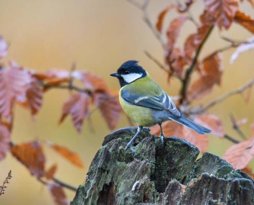 Parus major, Great tit, Sikora Bogatka, bird, yellow bird, wild, wildlife, tree, forest, orange, yellow, leaves, żółty ptak, Puszcza wkrzańska