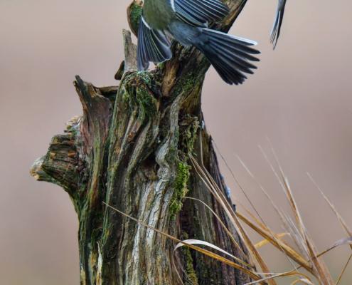 Parus major, Great tit, Sikora Bogatka, bird, yellow bird, wild, wildlife, two birds, tree, forest, orange, yellow, branch, żółty ptak, Puszcza wkrzańska