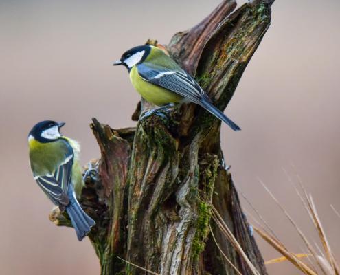 Parus major, Great tit, Sikora Bogatka, bird, yellow bird, wild, wildlife, two birds, tree, forest, wood, orange, yellow, branch, żółty ptak, Puszcza wkrzańska