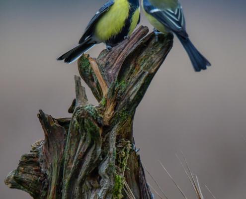 Parus major, Great tit, Sikora Bogatka, bird, yellow bird, wild, wildlife, dark, two birds, tree, forest, orange, yellow, branch, żółty ptak, Puszcza wkrzańska