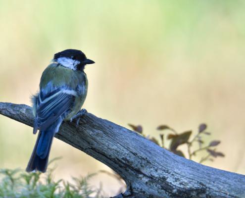 Parus major, Great tit, Sikora Bogatka, bird, yellow bird, wild, wildlife, tree, forest, orange, yellow, branch, żółty ptak, Puszcza wkrzańska