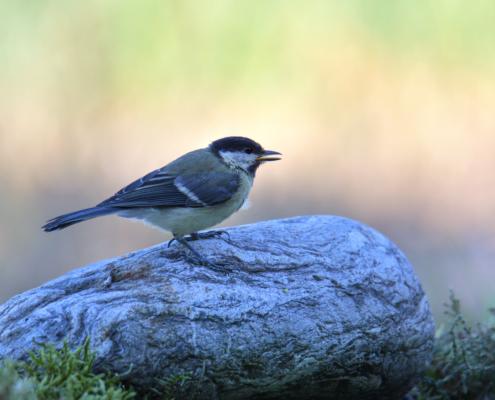 Parus major, Great tit, Sikora Bogatka, bird, yellow bird, wild, wildlife, tree, forest, orange, yellow, stone, żółty ptak, Puszcza wkrzańska