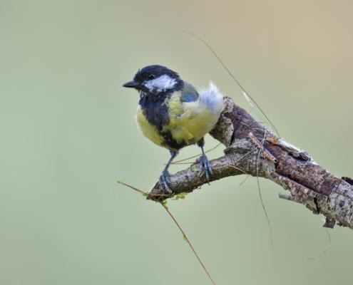 Parus major, Great tit, Sikora Bogatka, bird, yellow bird, wild, wildlife, tree, forest, orange, yellow, branch, grass, żółty ptak, Puszcza wkrzańska