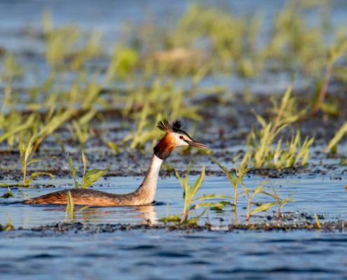 Podiceps cristatus, Great crested grebe, grabe, bird, water bird, water, water grass, two grabes, Perkoz dwuczuby, perkoz, ptak, ptak wodny, dwa perkozy, woda, jezioro, Artur Rydzewski