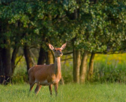 Red deer, Cervus elaphus, animals, suny day, forest, trees, wild, wildlife, Jeleń szlachetny, łania, las, drzewa, Puszcza Wkrzańska, Rezerwat Świdwie, Artur Rydzewski