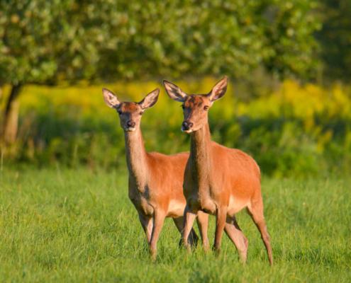 Red deer, Cervus elaphus, animals, suny day, forest, wild, wildlife, Jeleń szlachetny, łania, las, Puszcza Wkrzańska, Rezerwat Świdwie, Artur Rydzewski