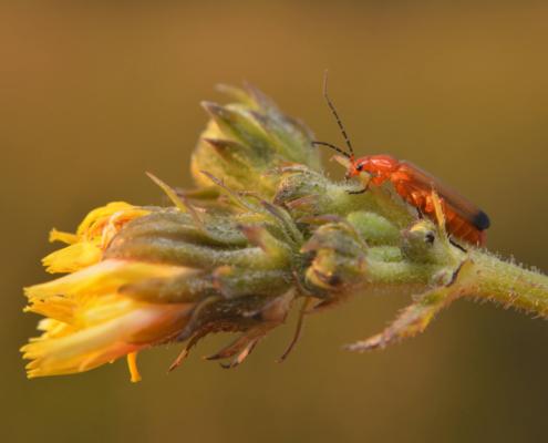 Rhagonycha fulva, Common red soldier beetle, Bloodsucker beetle, insect, bug, Zmięk żółty, pomarańczowy owad, owad, robak