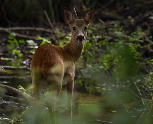 Roe-deer animal close up, nature photography, animals, in forest, koziołek, sarna, las, w lesie