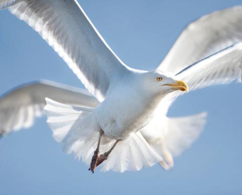 sea gull, water bird, bird, bird in flight, wings, mewa, w locie, ptak, skrzydła