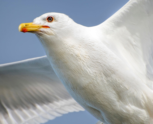 sea gull, water bird, bird, bird in flight, mewa, w locie, ptak z bliska