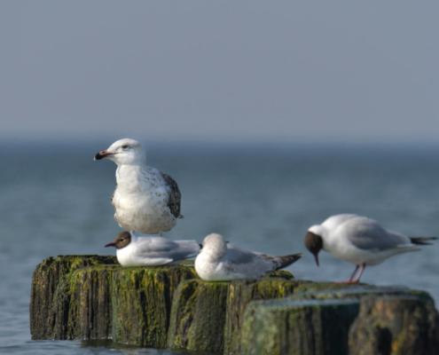 Sea gull, bird, white bird, sea bird, sea, water, in water, nature, Artur Rydzewski