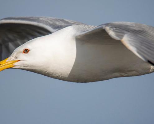 sea gull, water bird, bird, bird in flight, mewa, w locie, ptak