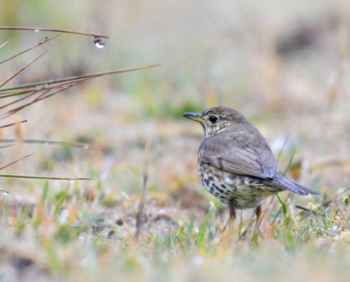 song thrush Turdus philomelos bird small bird in grass wildlifedew, drops of water, nature photography Artur Rydzewski drozd śpiewak, rosa, krople wody