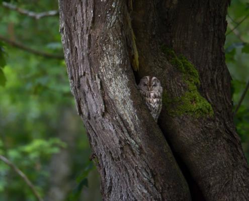 Tawny owl, Brown owl, Strix aluco, owl, owl in tree, tree, bird, Puszczyk zwyczajny, ptak, brązowy ptak, drzewo, ptak w szczelinie, Puszcza Wkrzańska, Artur Rydzewski