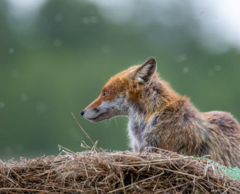 Vulpes vulpes, Lis rudy, lis pospolity, Red fox, rudy lis, animals, wild, wildlife,