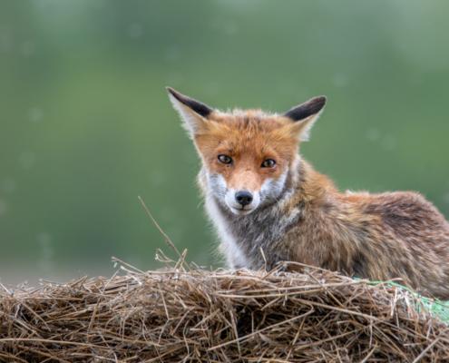 Vulpes vulpes, Lis rudy, lis pospolity, Red fox, rudy lis, animals, wild, wildlife, Poland