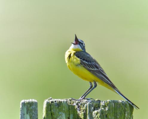 Western yellow wagtail, Motacilla flava, small yellow bird, singing bird, bird, Pliszka żółta, Wolarka, żółty mały ptak, ptak, żółty, mały, śpiewający ptak, puszcza wkrzańska