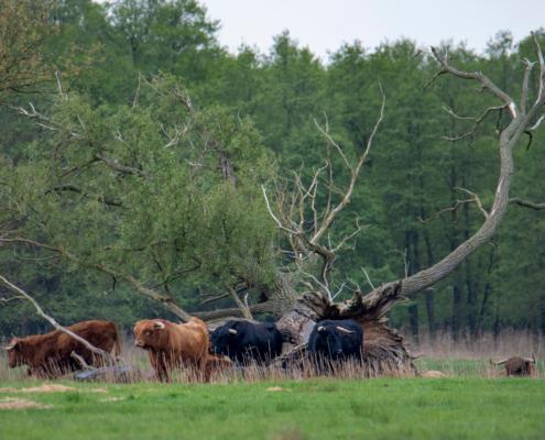 Wild cows, Buffalo, Dzikie krowy, krowy, zwierzęta, byki,