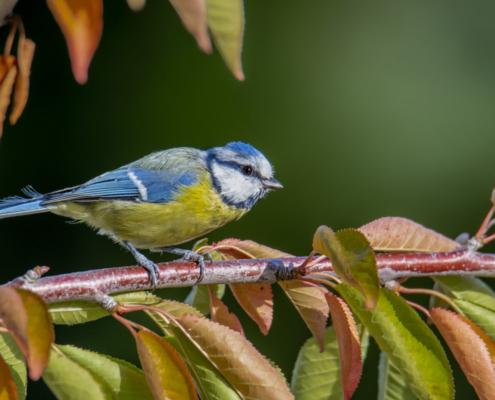 Parus major, Great tit, Sikora Bogatka, bird, yellow bird, wild, wildlife, tree, forest, orange, yellow, Leaves, garden, tree, żółty ptak