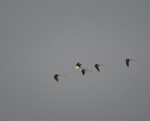 Black-winged stilt, Himantopus himantopus, Szczudłak zwyczajny ptak, długonogi ptak, długie nogi, long leg bird, bird, red legs, long legs