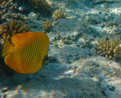 Blue-cheeked butterflyfish, Chaetodon semilarvatus, yellow coral fish red sea