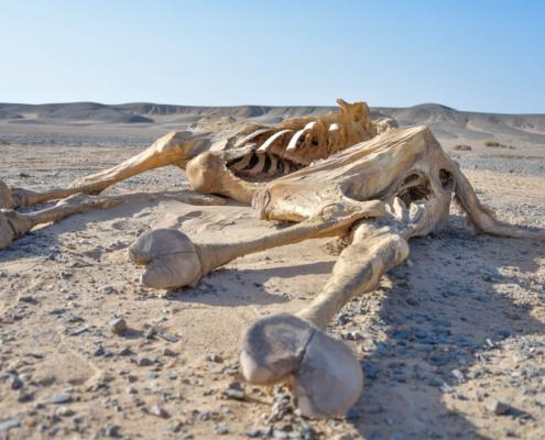 camel, dead camel, desert, Egypt, wielbłąd, martwy wielbłąd, pustynia, Egipt