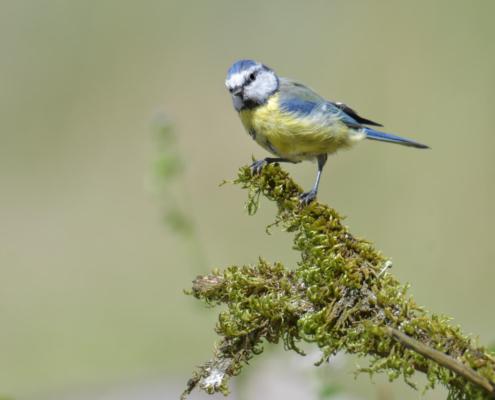 Cyanistes caeruleus, Eurasian blue tit, Modraszka, Sikora modra, small yellow blue bird, bird with blue cap, moss, nature, rezerwat świdwie, puszcza wkrzańska