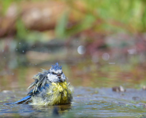 Cyanistes caeruleus, Eurasian blue tit, Modraszka, Sikora modra, small yellow blue bird, bird with blue cap, moss, nature, bath, water, drops, rezerwat świdwie, puszcza wkrzańska
