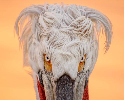 Dalmatian pelican, pelikan kędzieżawy, pelikan, bird, sunset, sunrise, orange, white bird,