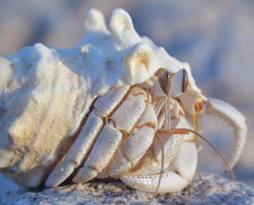Hermit crab, Krab pustelnik, krab, muszla, natura, morze czerwone, red sea, crab, shell