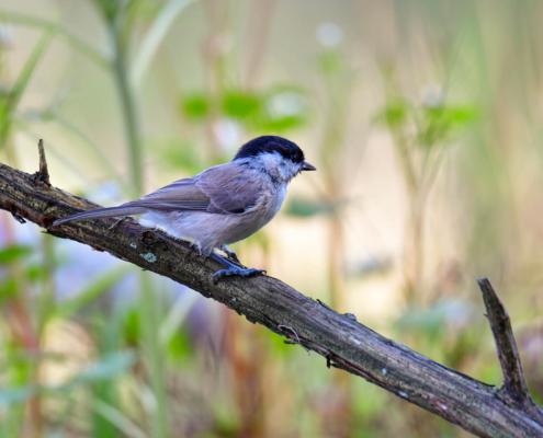 Poecile palustris, Marsh tit, Sikora uboga, grey bird with black cap, bird on stick, stick, nature, wildlife, wild, puszcza wkrzańska, rezerwat świdwie