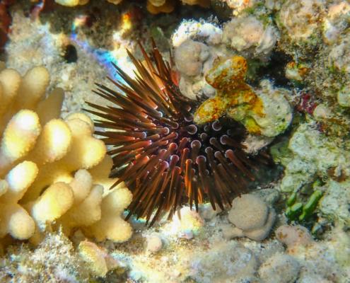 Red sea urchin, Jeżowiec, red sea, underwater, nature, coral reef, wild, Egypt, morze czerwone, woda, fotografia podwodna, korale, raafa koralowa