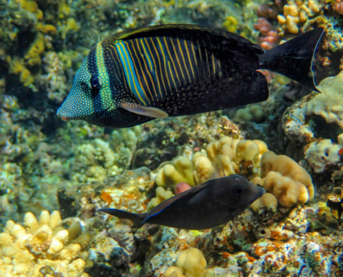 Sailfin tang, Zebrasoma veliferum, Zebrasoma żaglopłetwa, coral fish red sea fish with dots