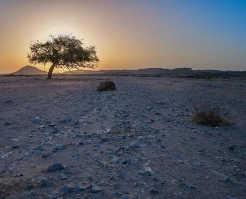 Tree in the desert, tree, desert, sun, sunrise, sunset, orange sky,